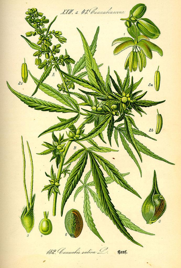 HIGHLIFE Magazine - Cannbis Sativa is Medicine