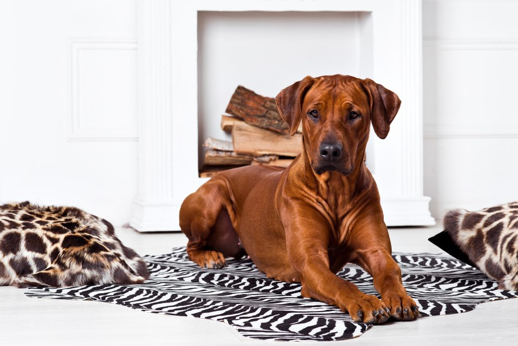 HIGHLIFE Rhodesian Ridgeback