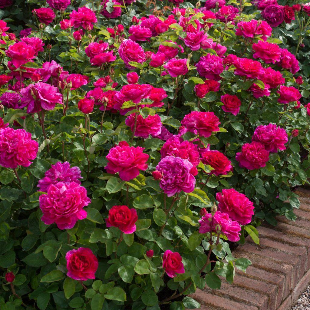 HIGHLIFE Roses